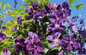 MaryEllen Purple Flowers